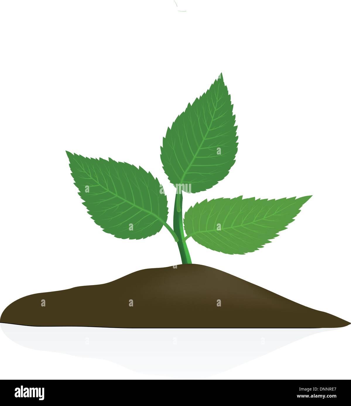 Jeune plante en sol noir isolé sur fond blanc Photo Stock