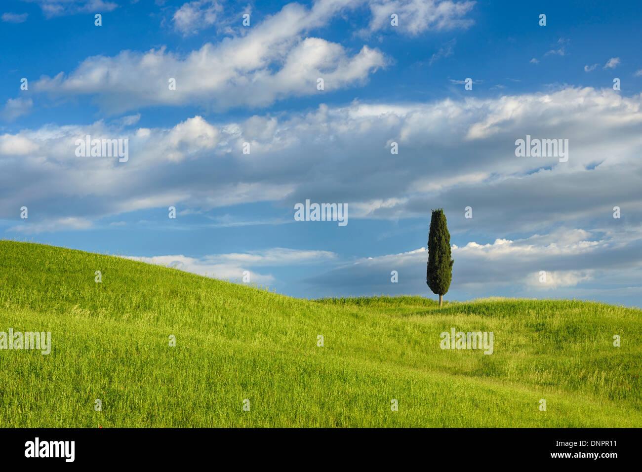 Cyprès dans champ vert. Pienza, Val d'Orcia, Toscane, Italie. Banque D'Images