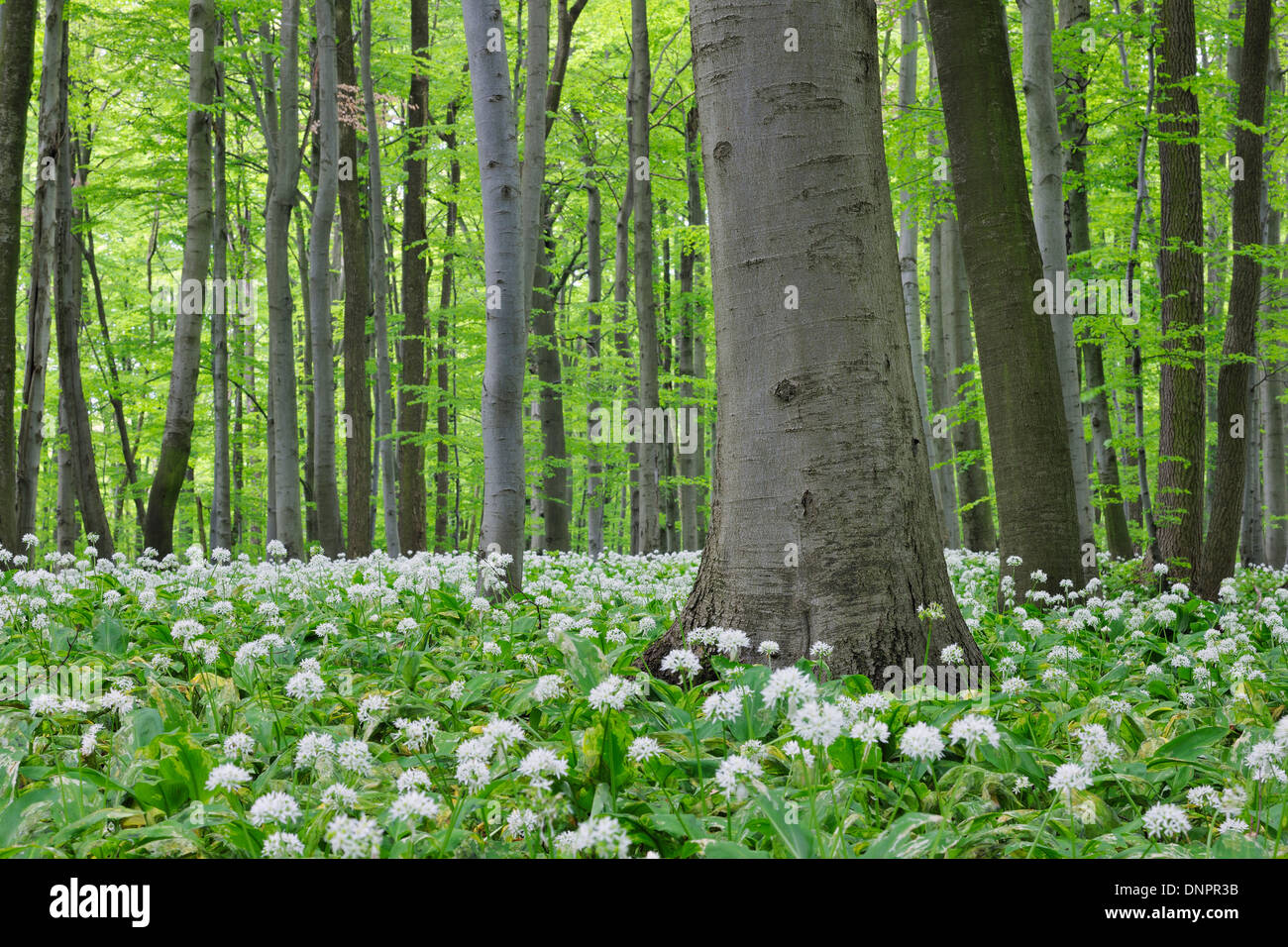 Forêt de printemps avec Ramsons Allium ursinum) (feuillage vert luxuriant. Parc national du Hainich, Thuringe, Allemagne. Banque D'Images