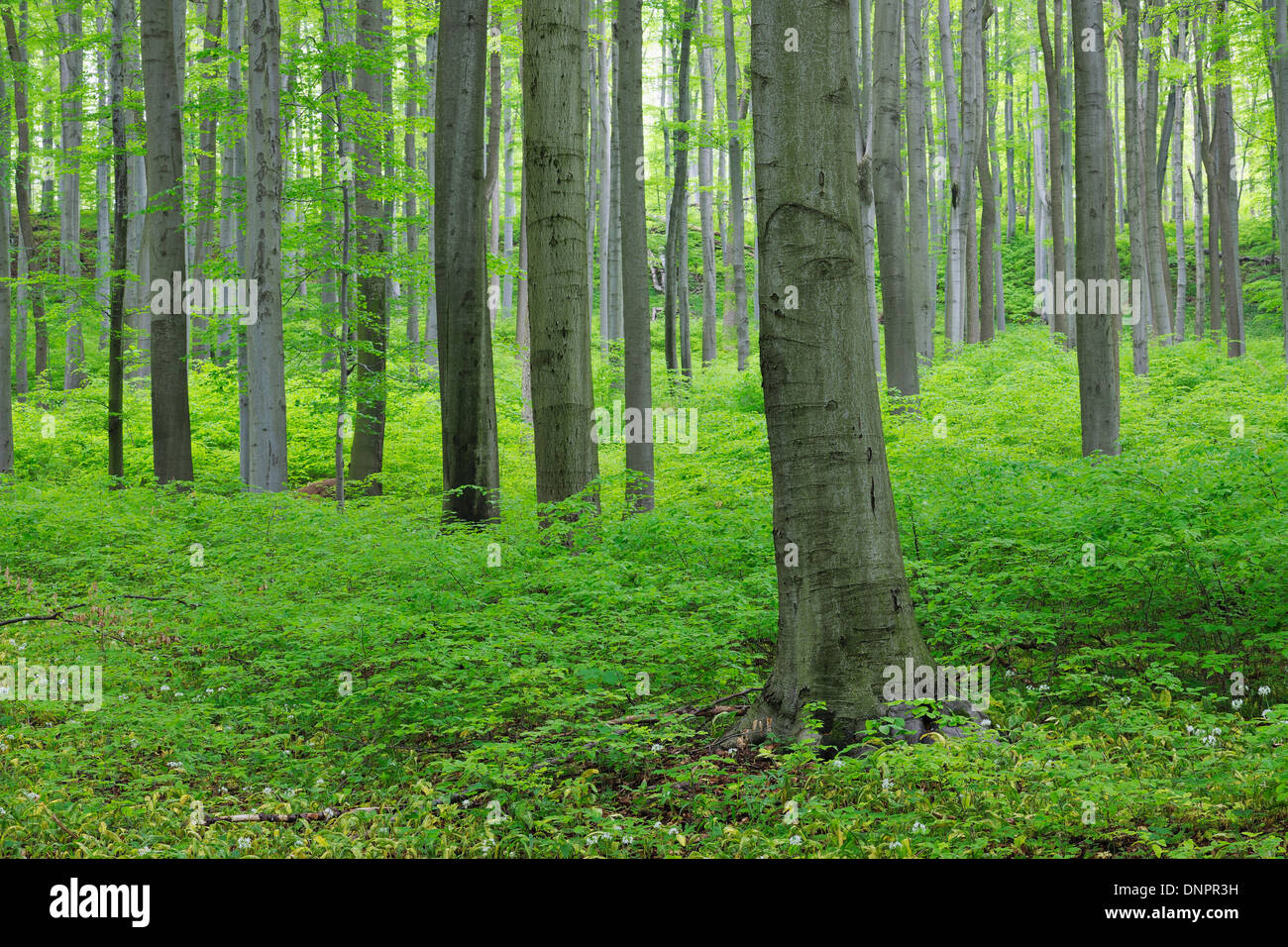 Printemps forêt de hêtres avec feuillage vert luxuriant. Parc national du Hainich, Thuringe, Allemagne. Banque D'Images