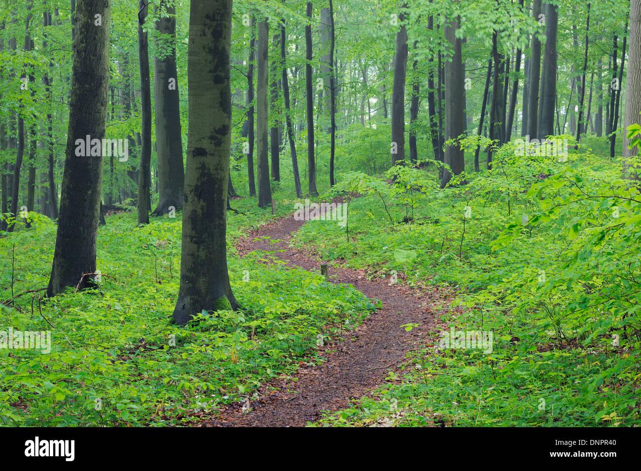 Sentier au printemps forêt de hêtres avec feuillage vert luxuriant. Parc national du Hainich, Thuringe, Allemagne. Banque D'Images