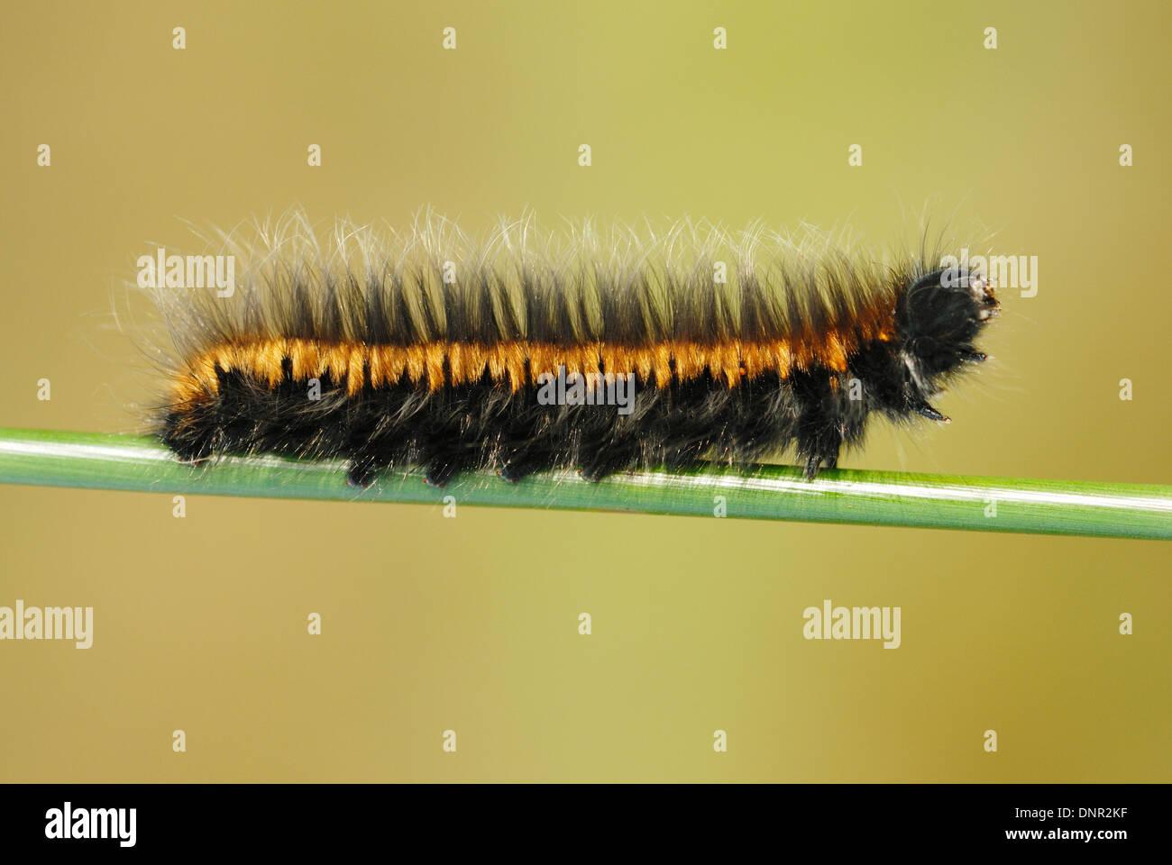 Fox Moth Caterpillar (Macrothylacia rubi) Photo Stock