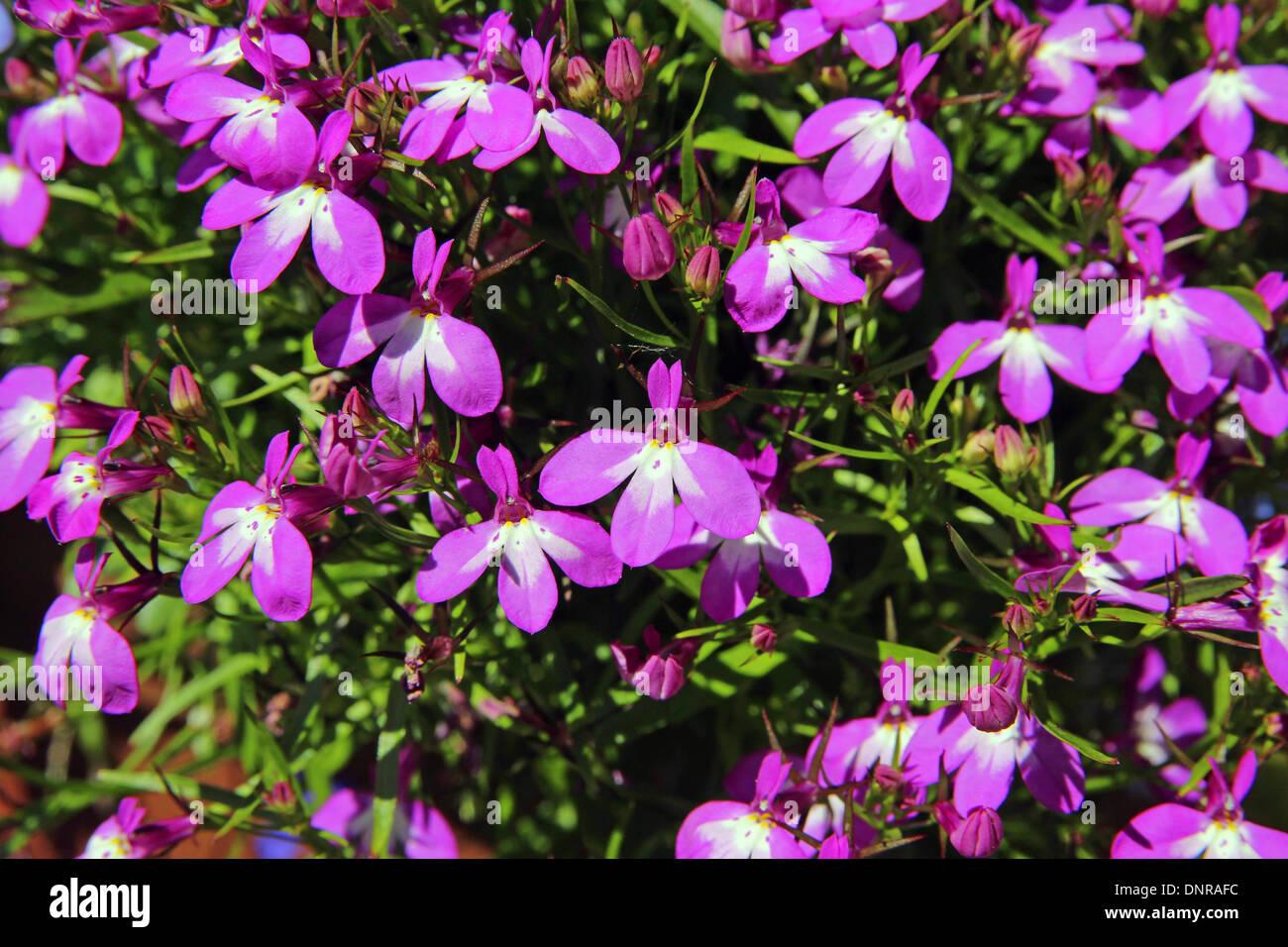 Lobelia Erinus Dans Lété En Fleur Banque Dimages Photo Stock