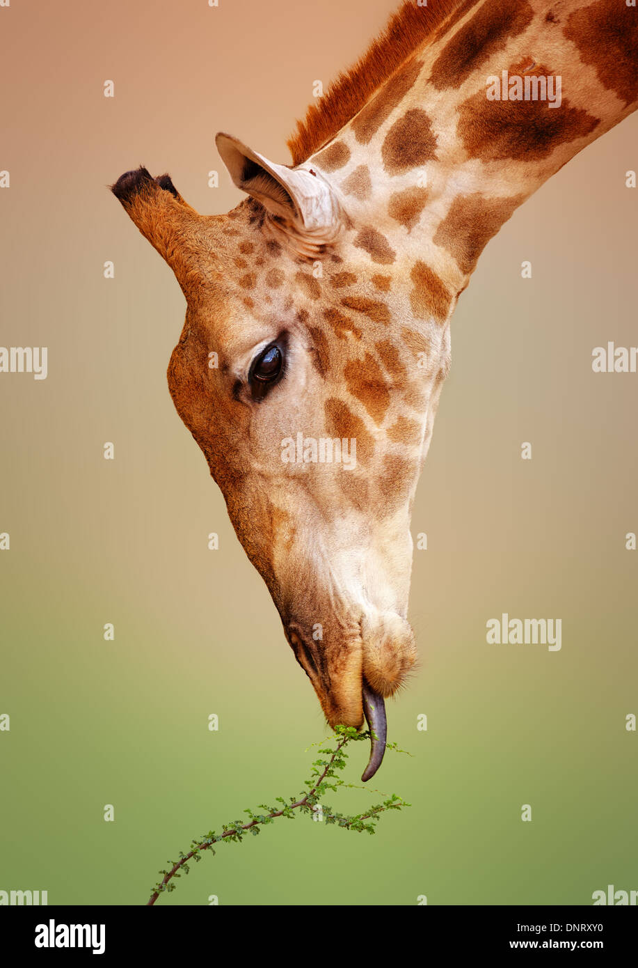 Close-up d'une girafe mangeant un buisson - Kgalagadi Transfrontier Park (Afrique du Sud) Photo Stock