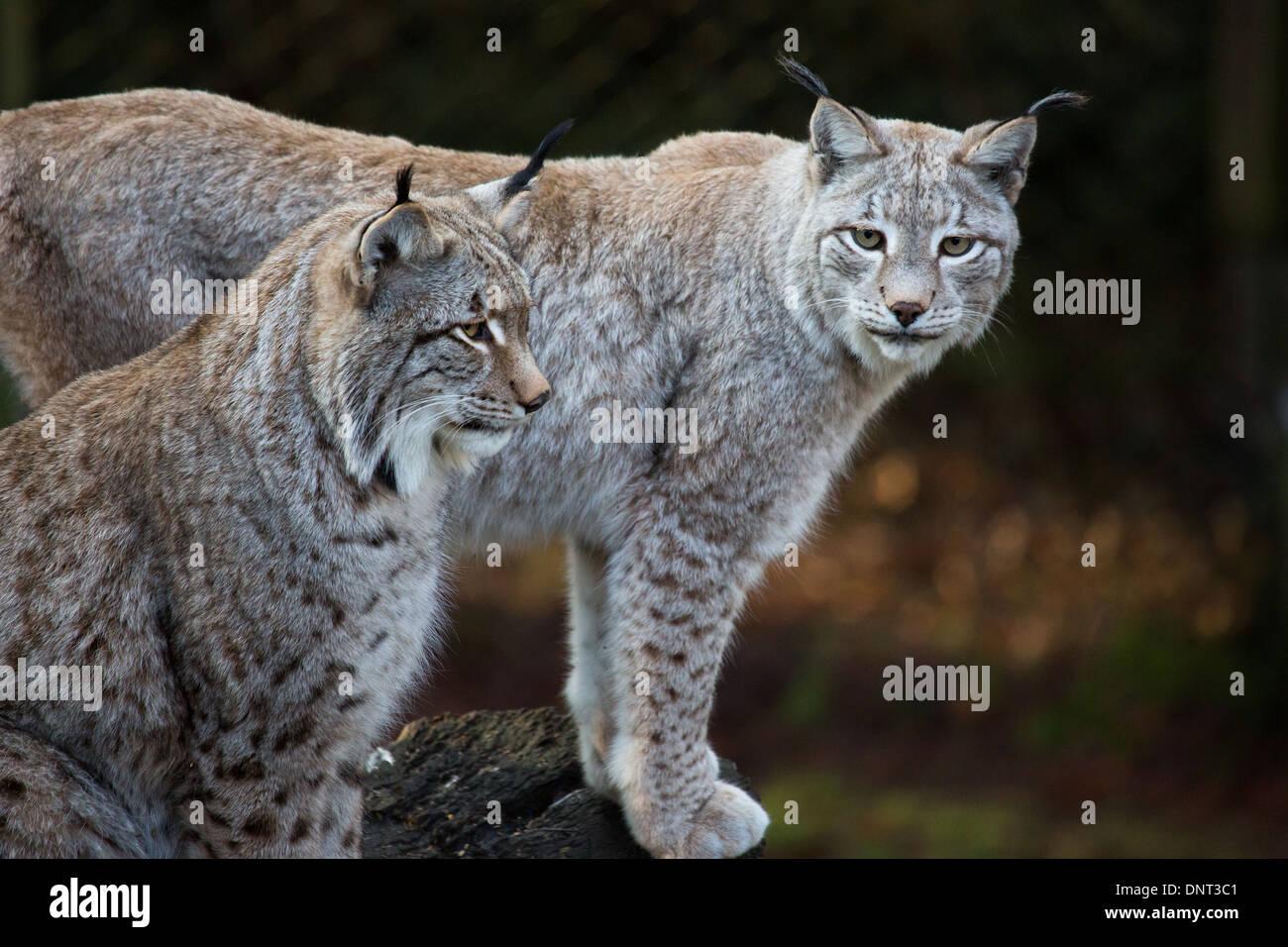 Lynx d'Eurasie en captivité dans un zoo Photo Stock