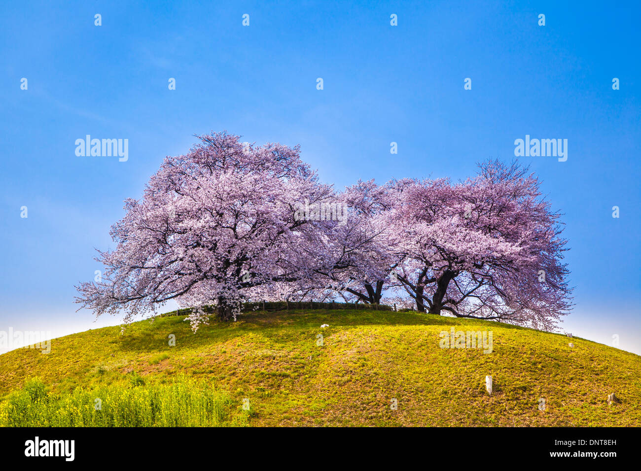 Cherry Tree sur la colline, Sakitama Tumulus, Saitama, Japon Photo Stock