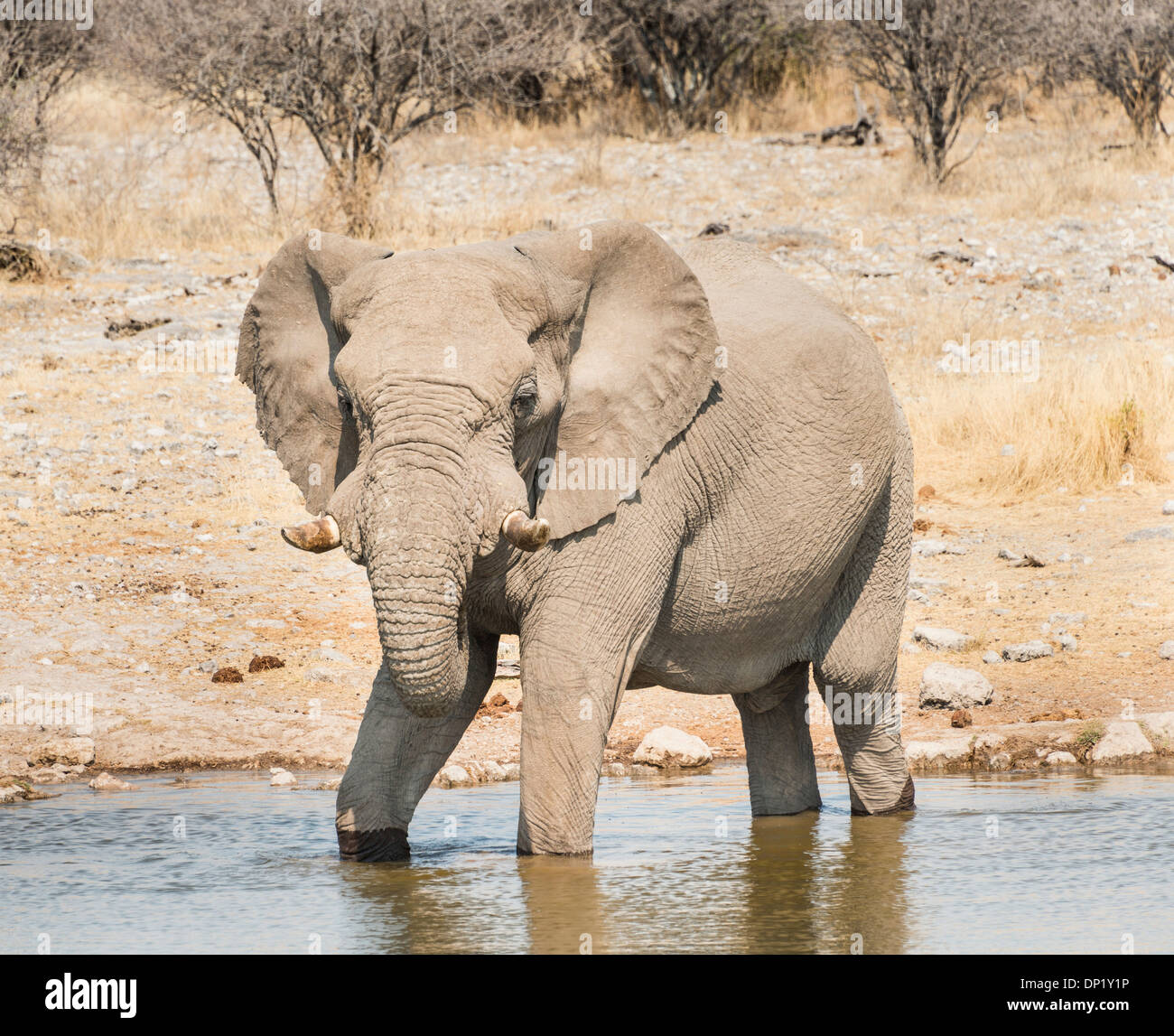 Bush africain Elephant (Loxodonta africana) boire à Koinachas Waterhole, Etosha National Park, Namibie Photo Stock