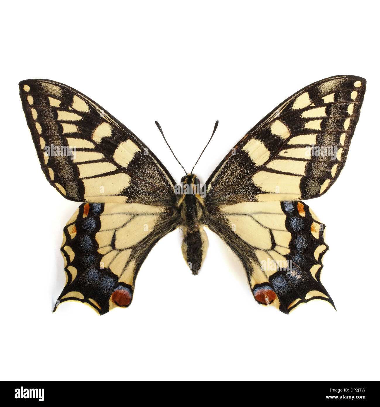 Swallowtail butterfly Photo Stock