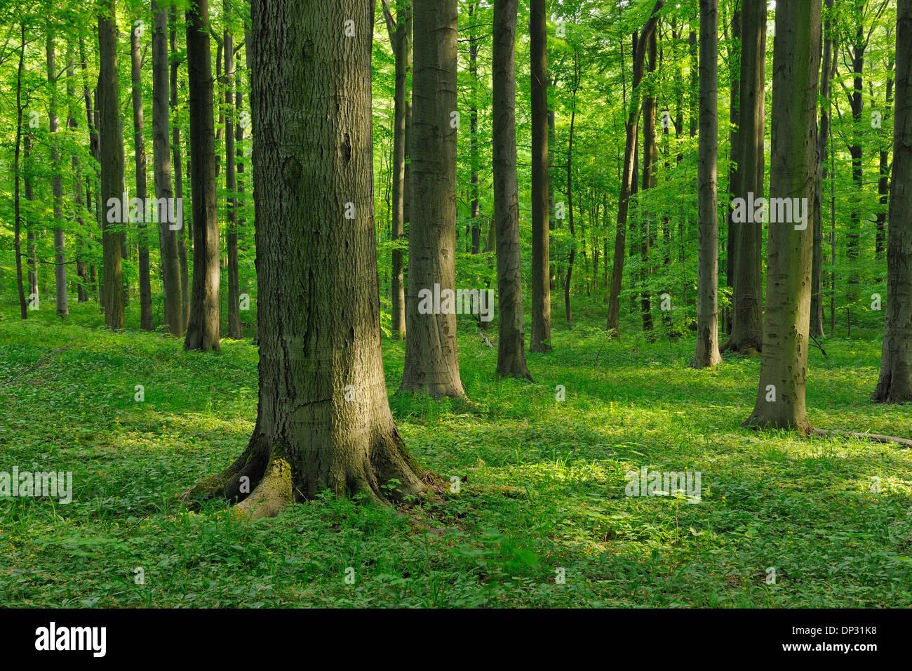 Hêtre européen (Fagus sylvatica) Forest in Spring, Parc national du Hainich, Thuringe, Allemagne Banque D'Images