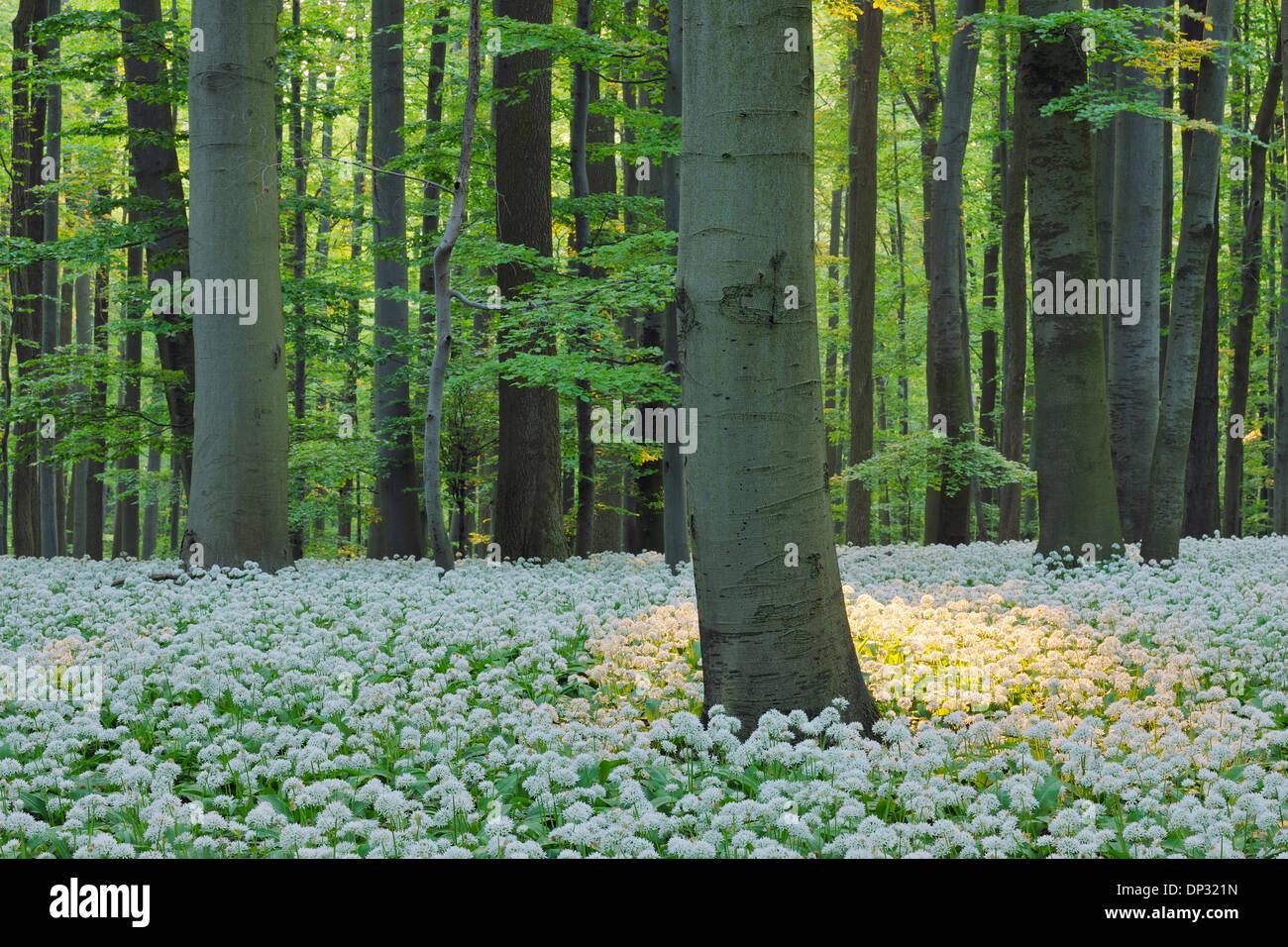 Ramsons (Allium ursinum) en hêtre européen (Fagus sylvatica) Forest in Spring, Parc national du Hainich, Thuringe, Allemagne Banque D'Images
