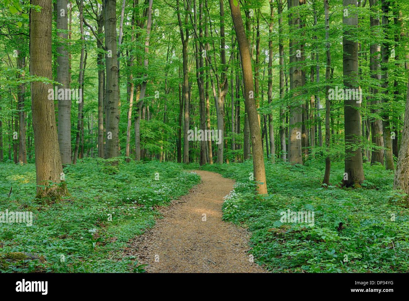 Sentier à travers hêtre européen (Fagus sylvatica) Forest in Spring, Parc national du Hainich, Thuringe, Allemagne Banque D'Images