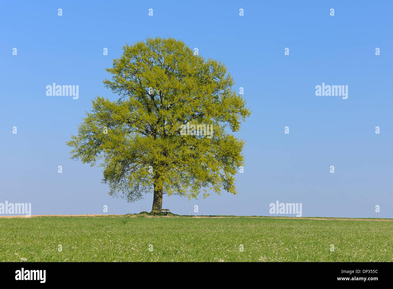 Chêne (Quercus) dans le pré au printemps, Bavière, Allemagne Banque D'Images