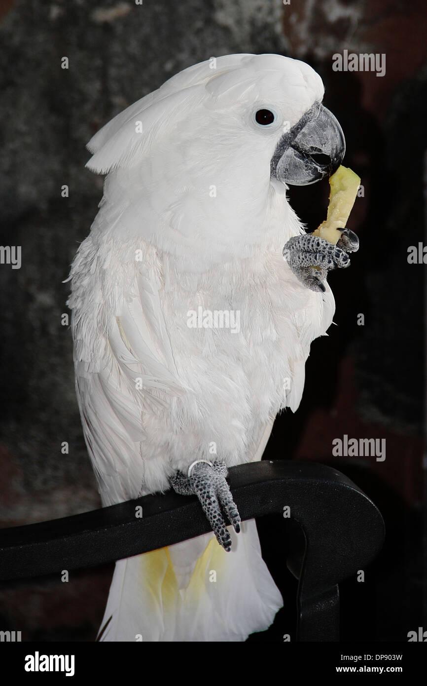 Une femme parapluie blanc cacatoès, manger un morceau de pomme. Photo Stock