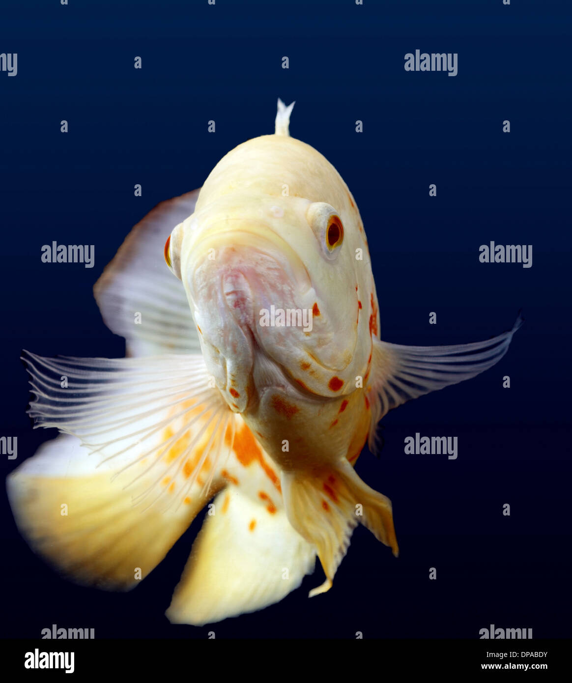 Poisson Oscar blanc Photo Stock