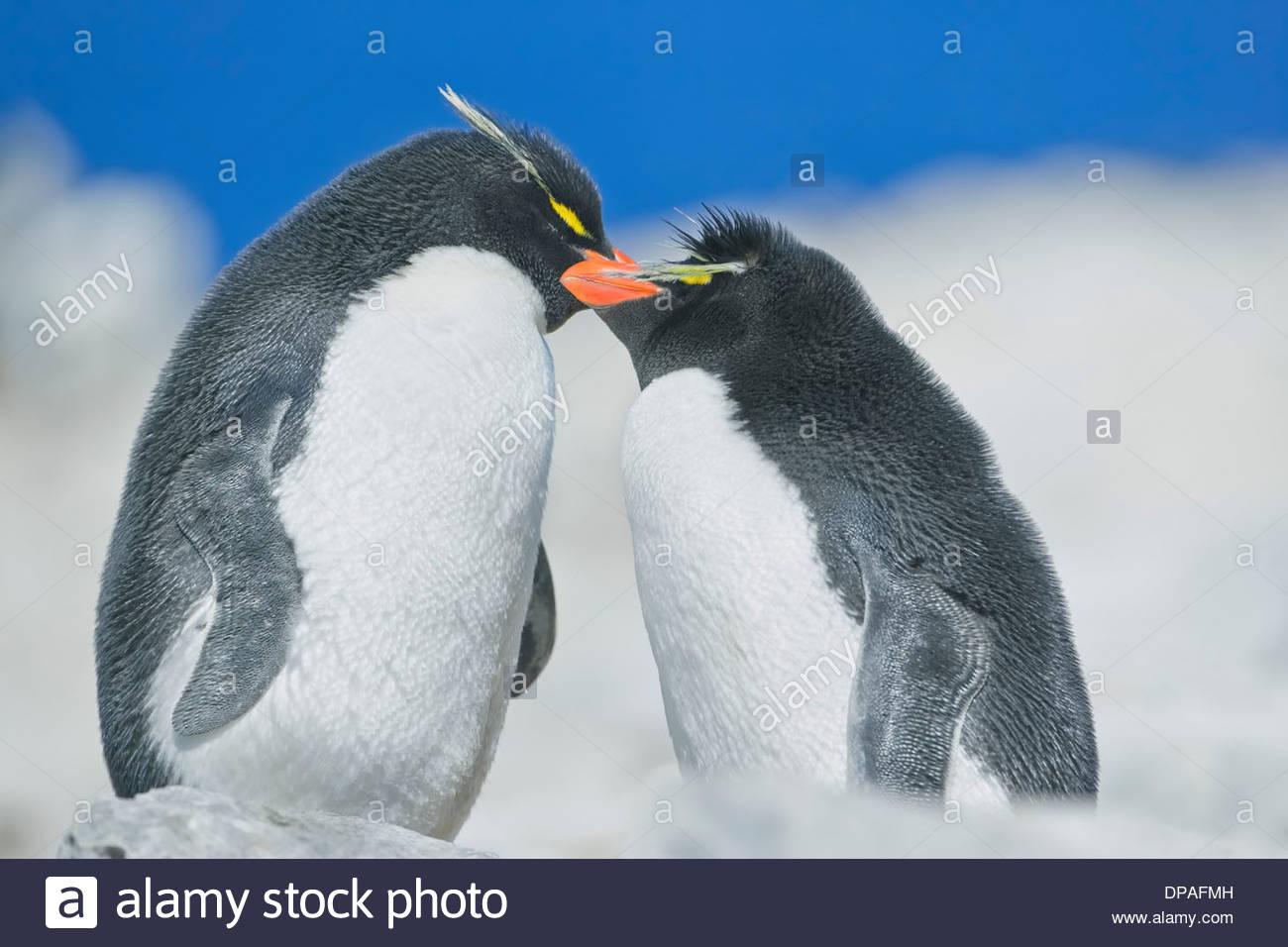 Deux Gorfous sauteurs (Eudyptes chrysocome chrysocome) dans une ambiance affectueuse, Îles Falkland Photo Stock