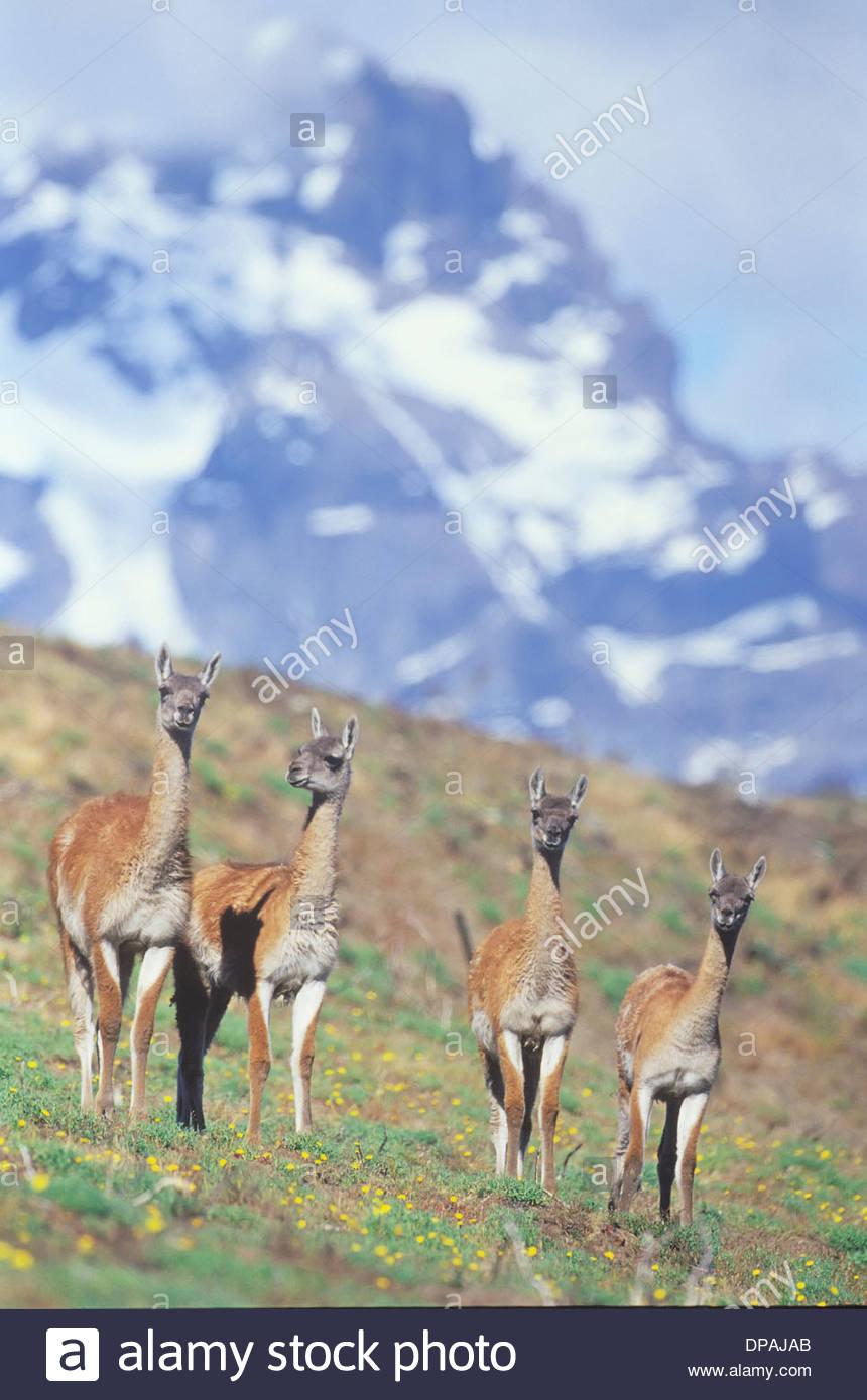 Quatre des guanacos, Parc National Torres del Paine, Patagonie, Chili Banque D'Images