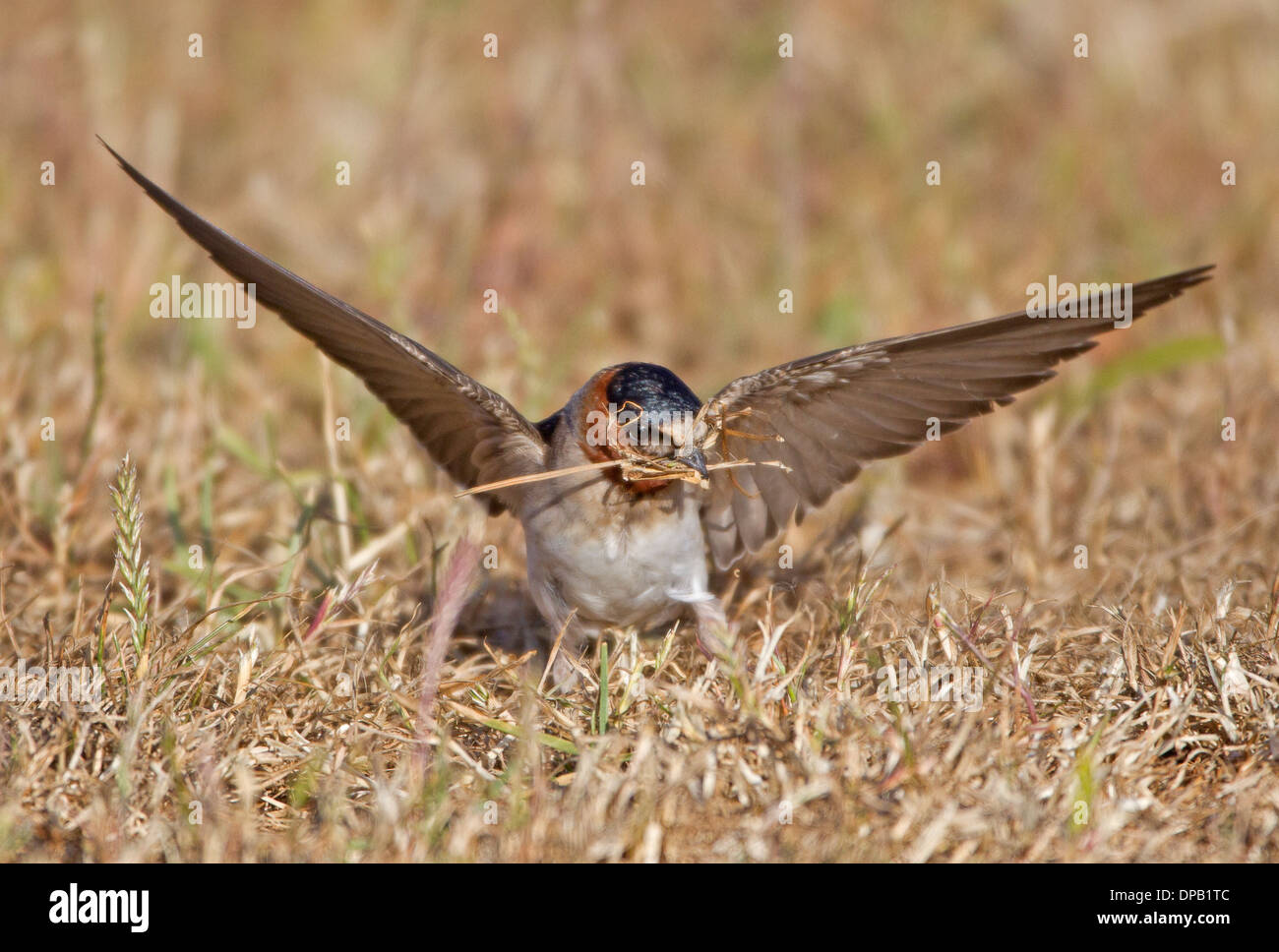 Hirondelle à l'herbe pour la collecte de matériel de nidification Photo Stock