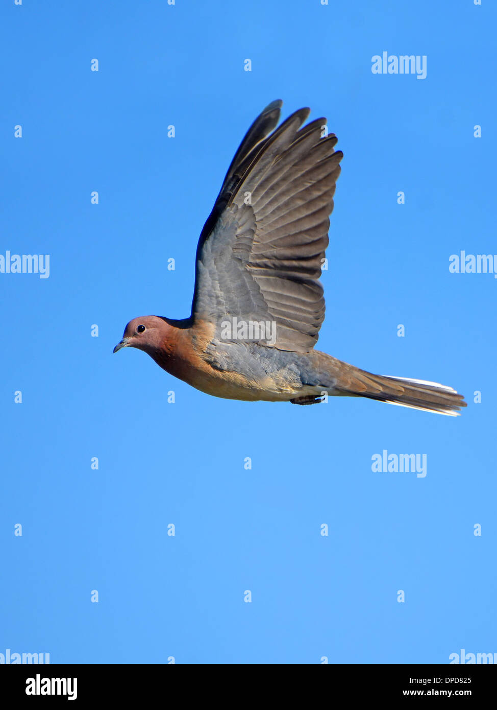 Laughing Dove flying Photo Stock