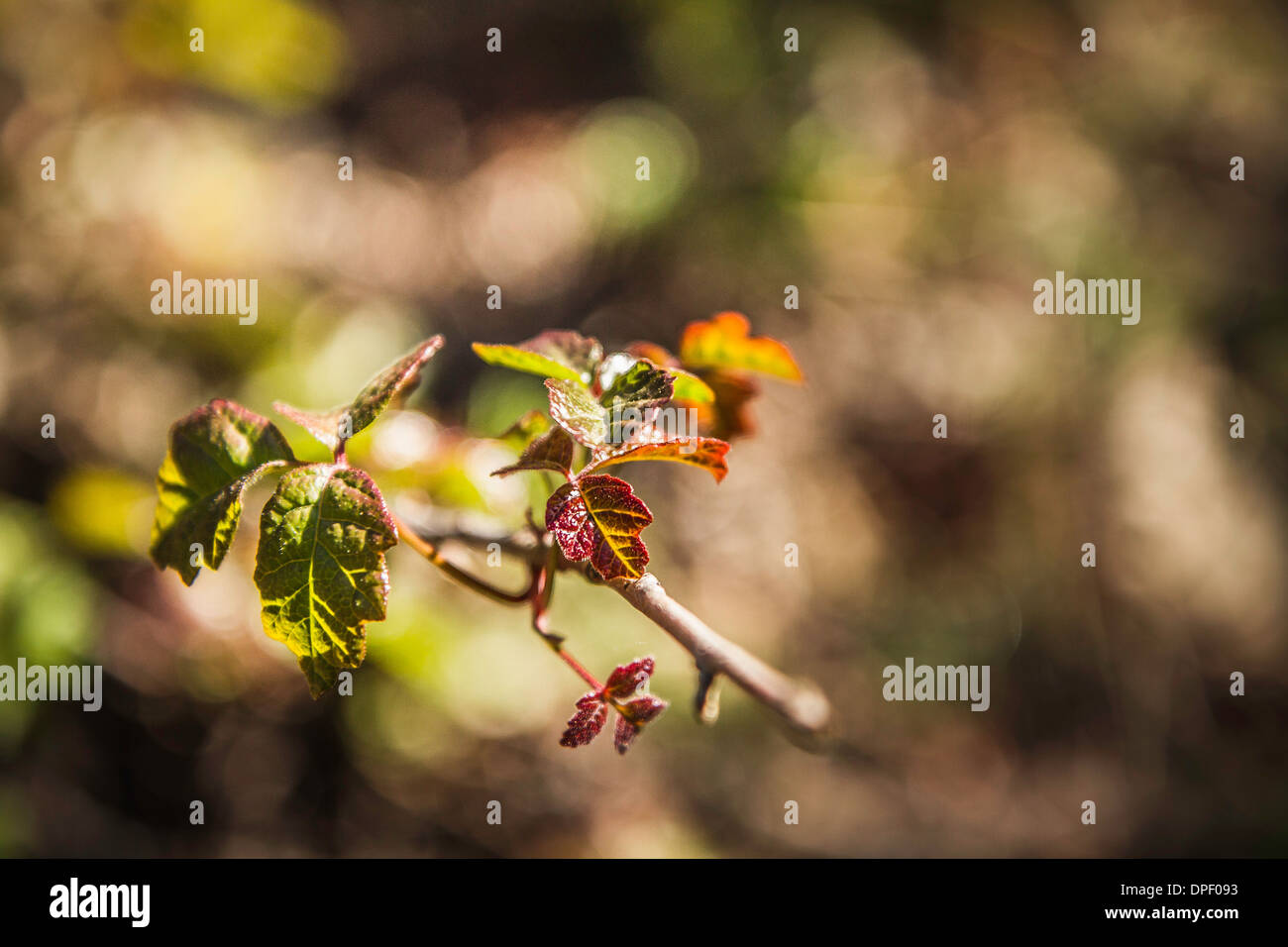 De nouvelles feuilles sur branch, Close up Photo Stock