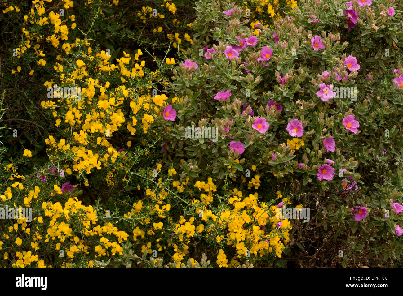 Gray-leaved Cistus Cistus albidus, en fleur épineuse avec balai en garrigue, Sardaigne, Italie. Photo Stock