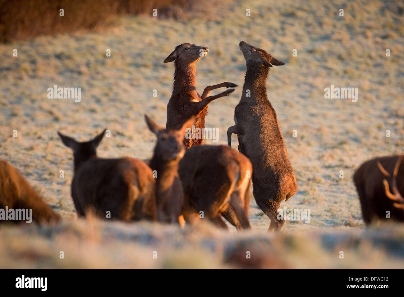 Deux Red Deer ont un combat tout en pâturage dans le givre à Ashton Cour, Bristol Photo Stock
