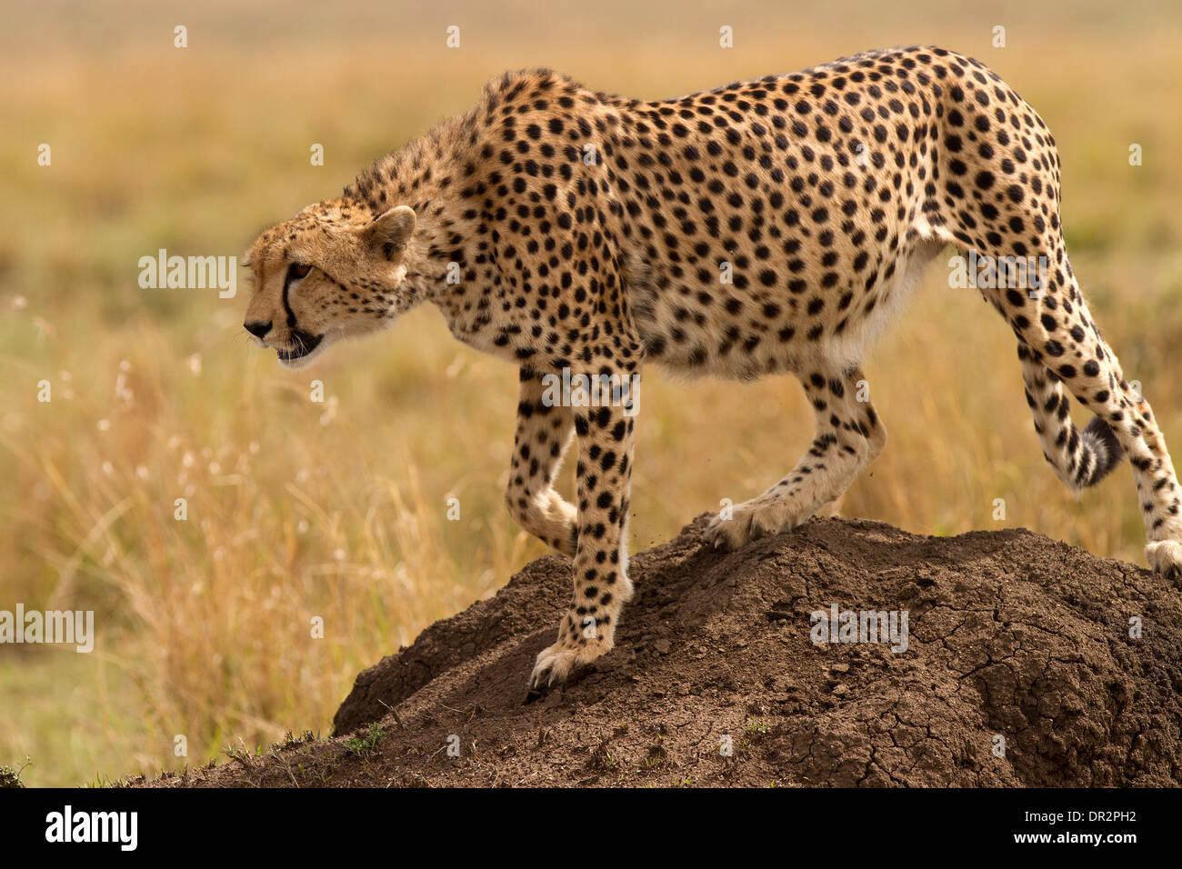 Le guépard, Acinonyx jubatus sur le déplacer à nouveau Photo Stock
