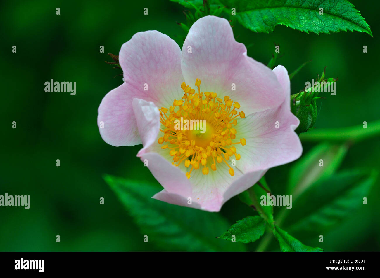 Un Chien Rose Pale Fleur Rose Uk Banque D Images Photo Stock