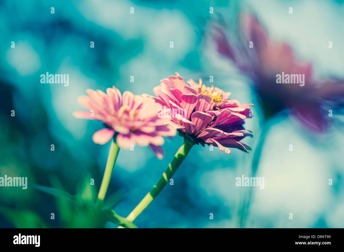 Trois fleurs de zinnia (Asteroideae commun) Photo Stock