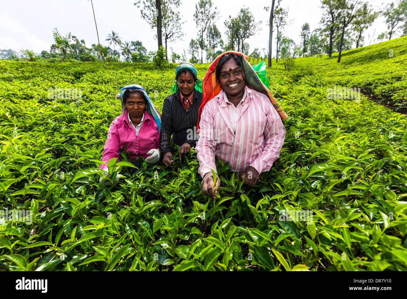 Les cueilleurs de thé, plantation de thé, thé, Udapalatha, Province, Sri Lanka Photo Stock