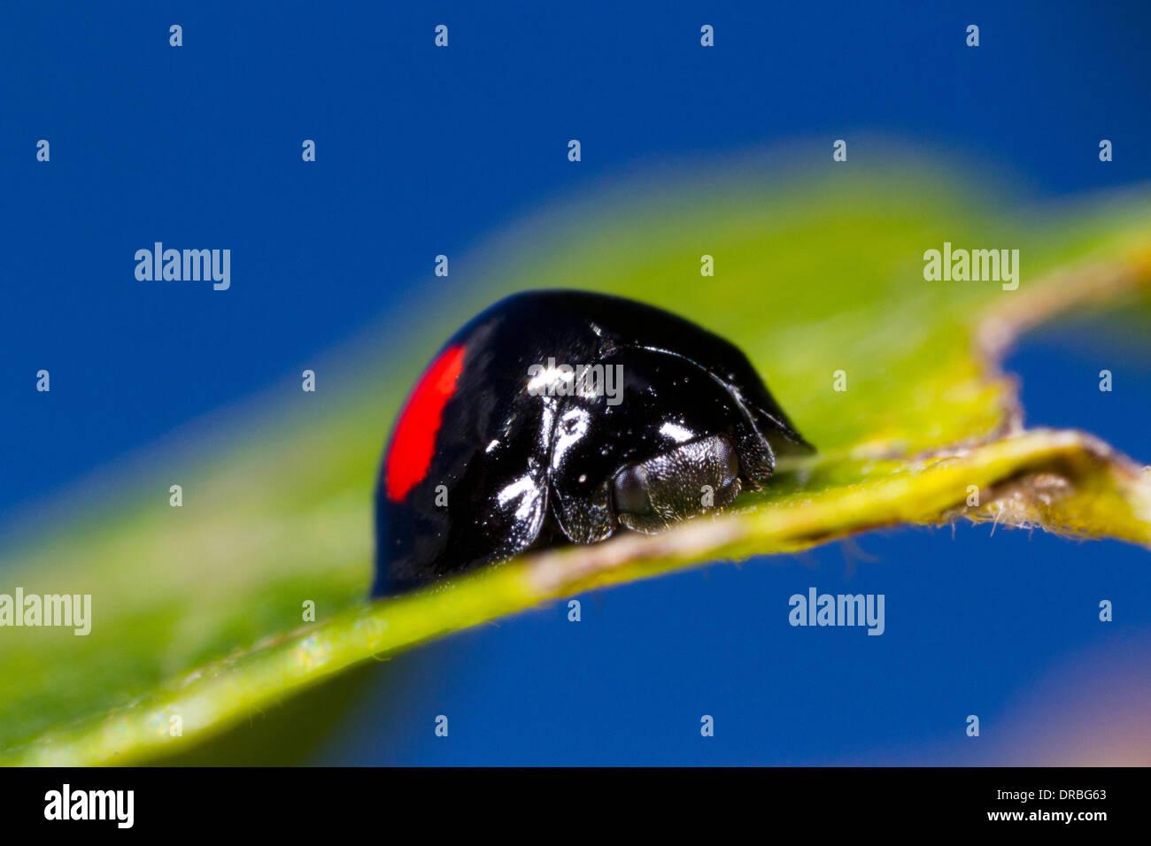 Place du rein (Coccinelle Chilocorus renipustulatus) coléoptère adulte sur une feuille jaunâtre. Powys, Pays de Banque D'Images