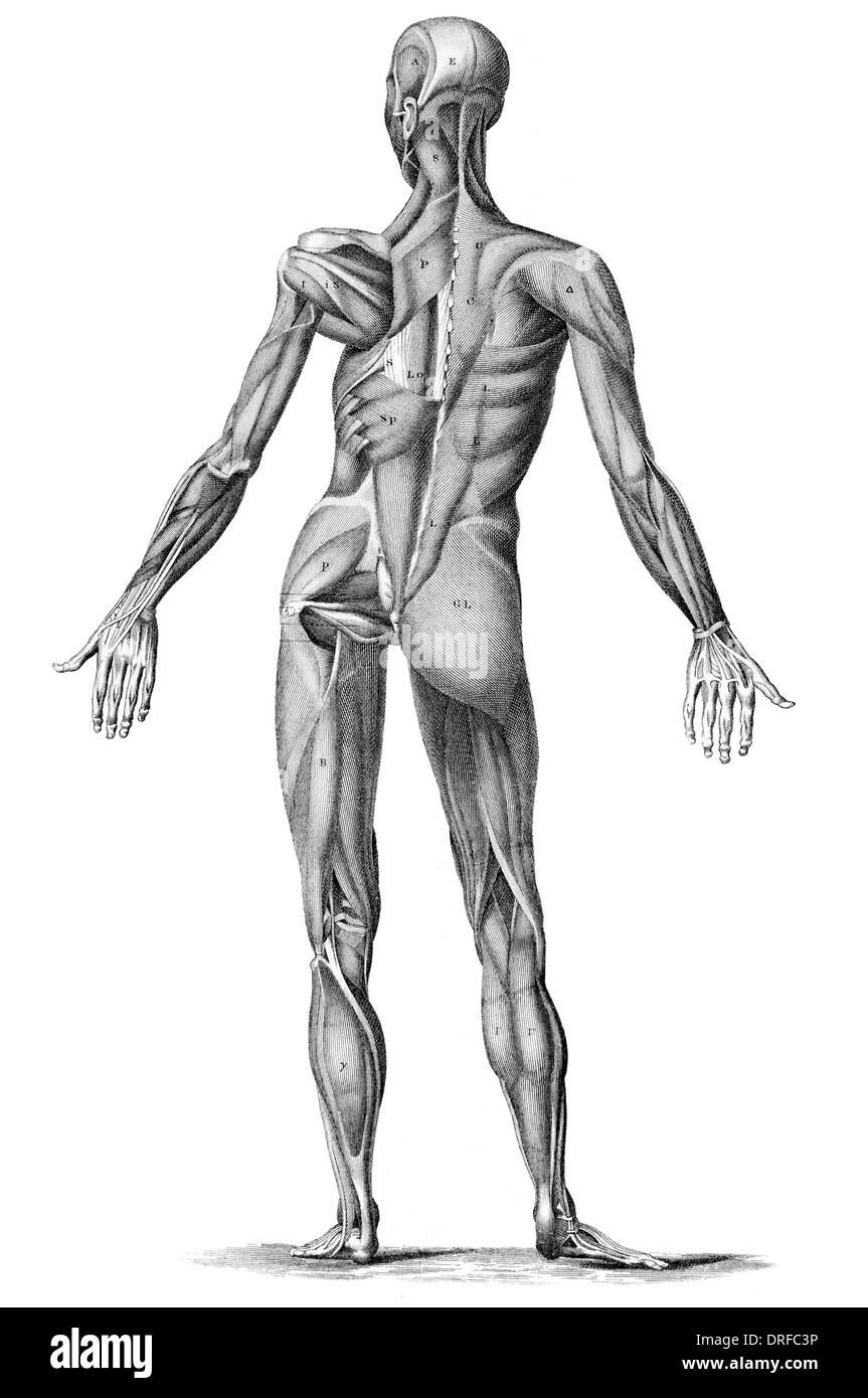 Les droits de l'anatomie musculaire Muscles masculins - de l'arrière à l'arrière Photo Stock