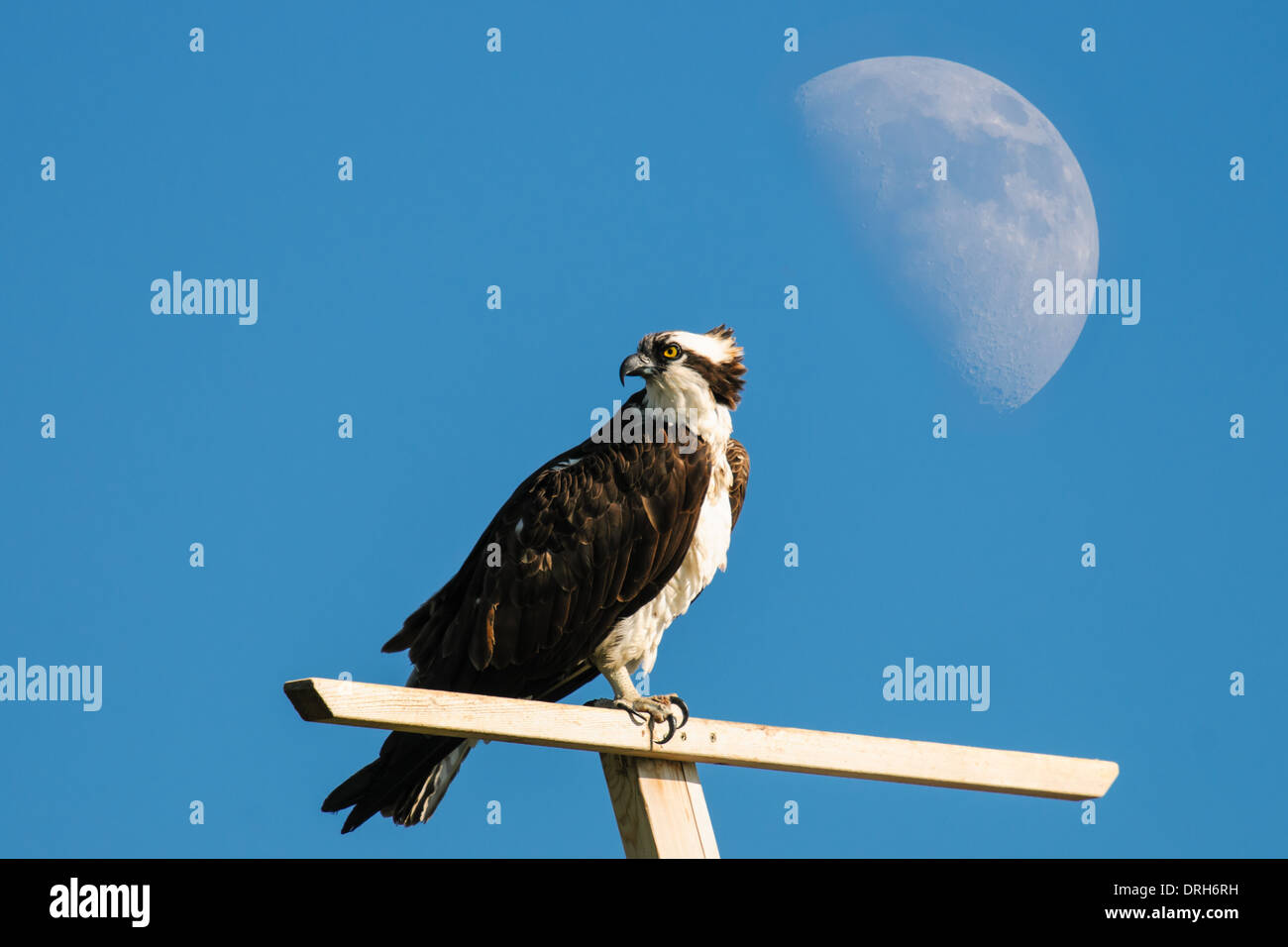 Osprey sur une perche en vertu d'un lever de lune, Alberta Canada Photo Stock
