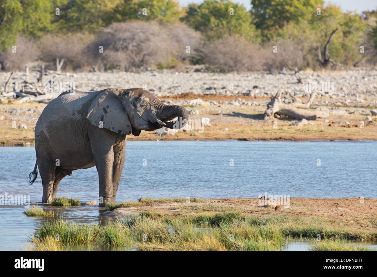 Les éléphants dans le parc d'Etosha Photo Stock
