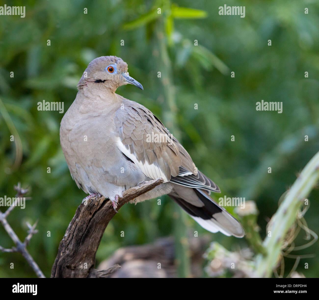 La colombe (Zenaida asiatica) est une colombe dont la gamme s'étend du sud-ouest des Etats-Unis par le Mexique. Photo Stock
