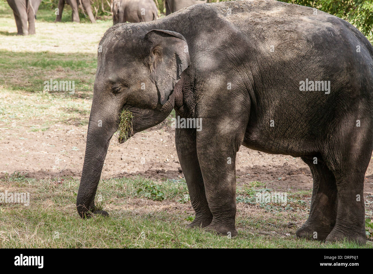 Grignotage éléphant l'herbe dans le Parc National Minneriya, Sri Lanka Photo Stock