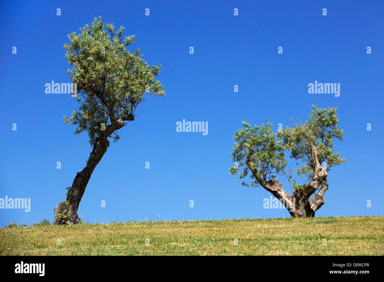 Deux arbres ciel bleu Banque D'Images
