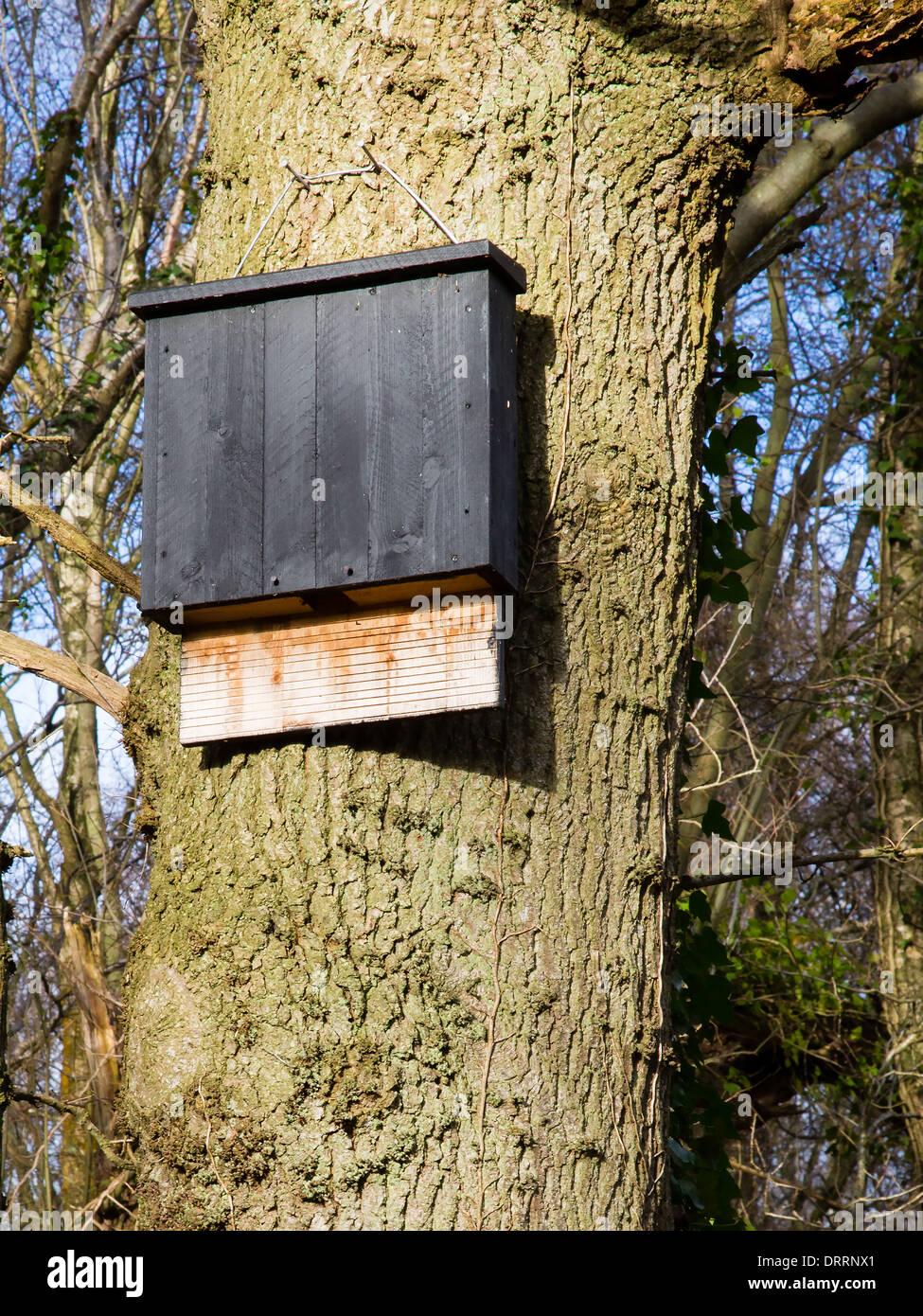 Grande salle commune bat fort généreux avec plaque d'atterrissage perchée le tronc d'un chêne dans un bois Somerset Photo Stock