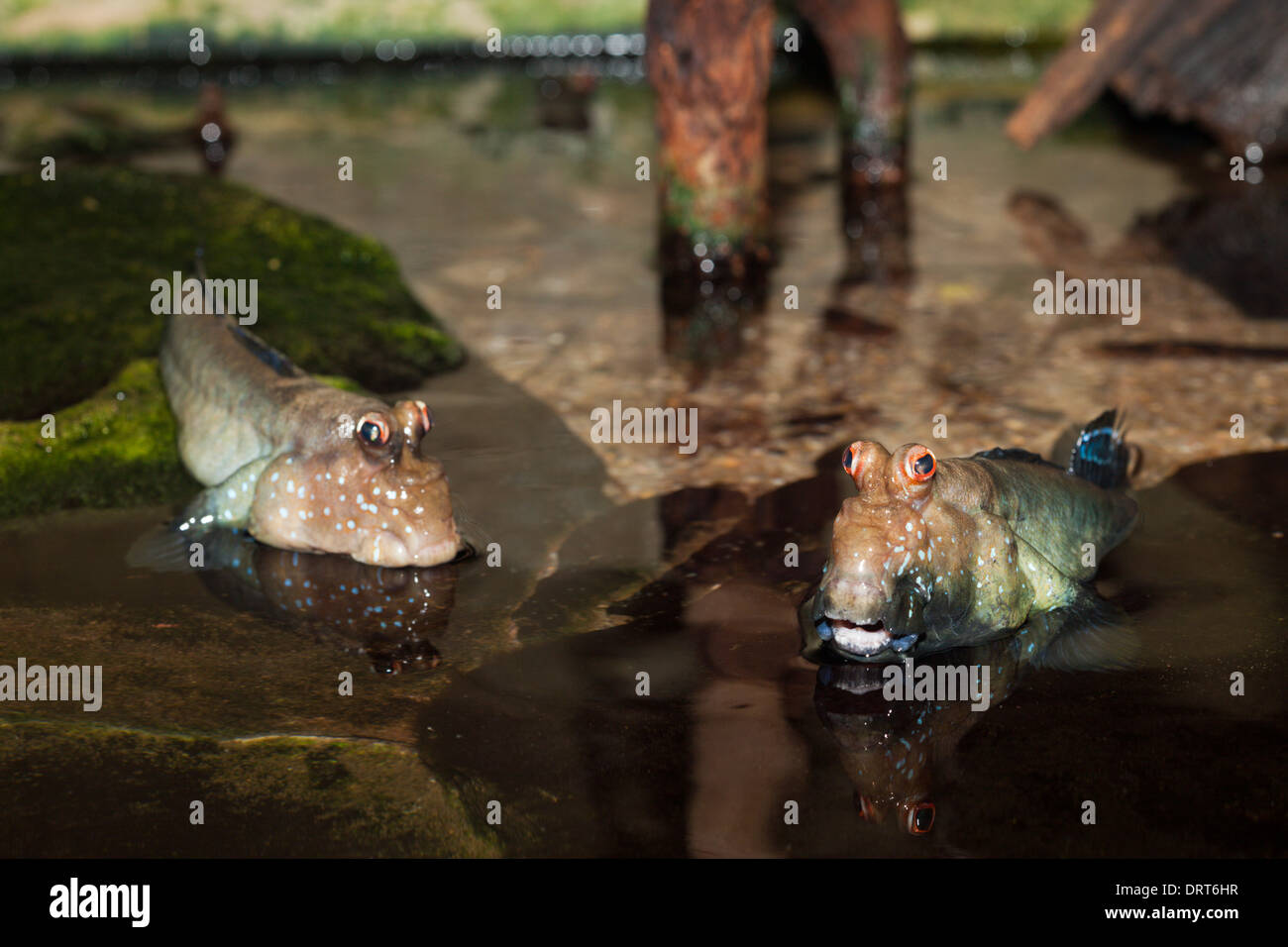 Mudskipper, Periophthalmus spec., au Mozambique Photo Stock