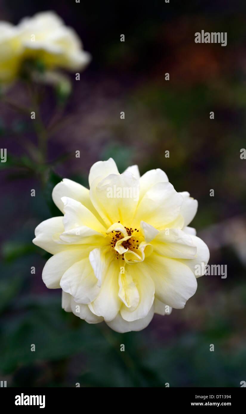 Rosa Golden memories korholsea floribunda rose jaune fleur fleurs roses fleurs bloom floraison Photo Stock