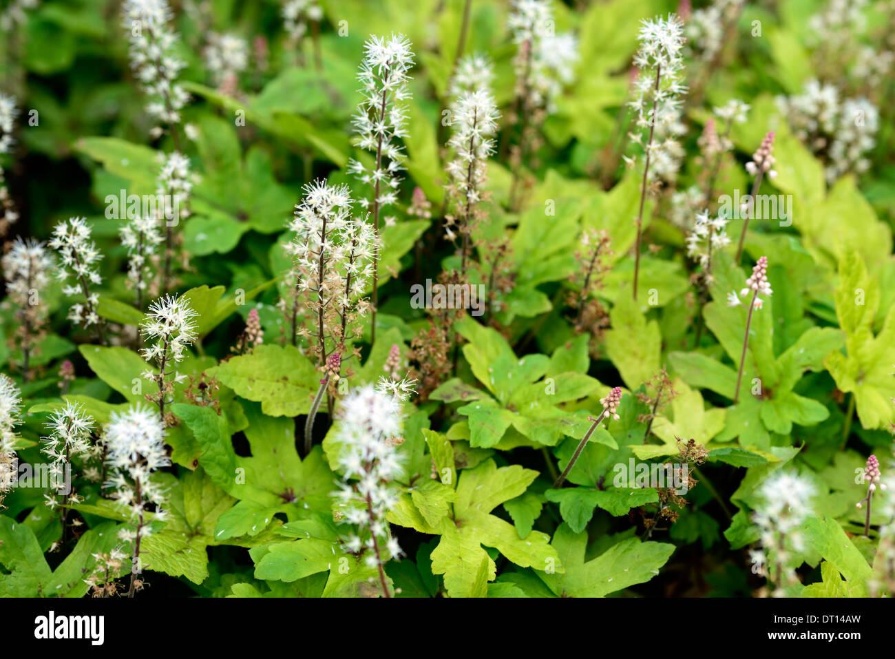 Tiarella spring symphony la floraison des plantes Jardin d\'ombre ...