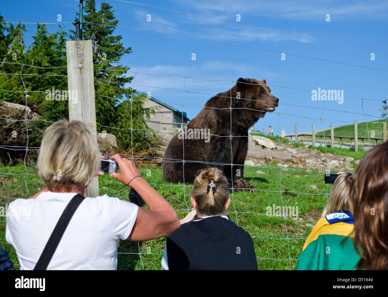 Les touristes de prendre des photos d'un grizzly vivant dans un endroit clos Wildlife Refuge au sommet de Grouse Mountain à Vancouver, BC. Photo Stock