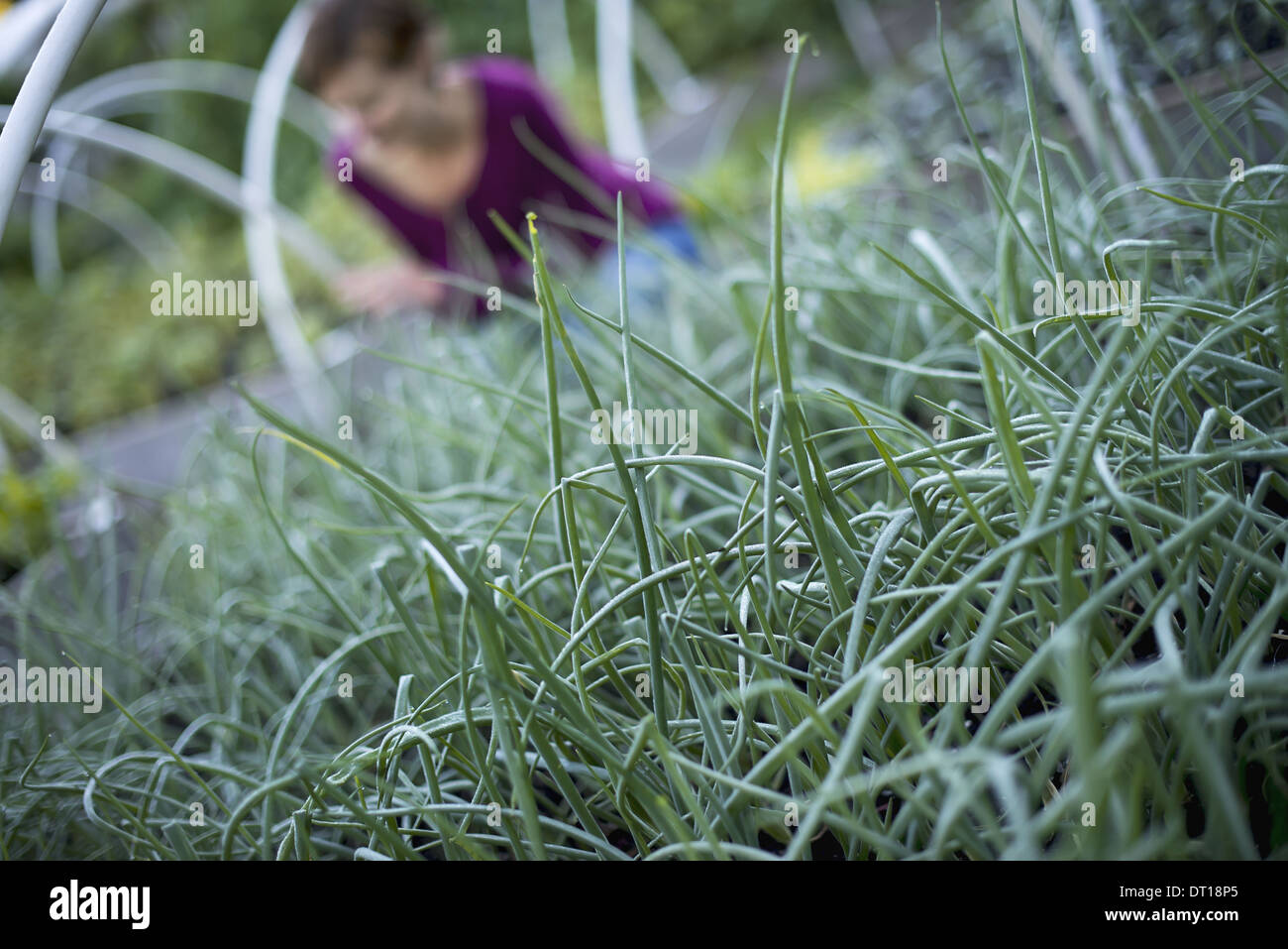 Woodstock, New York USA exploitant agricole travaillant dans les usines d'herbe ciboulette jardin bio Banque D'Images