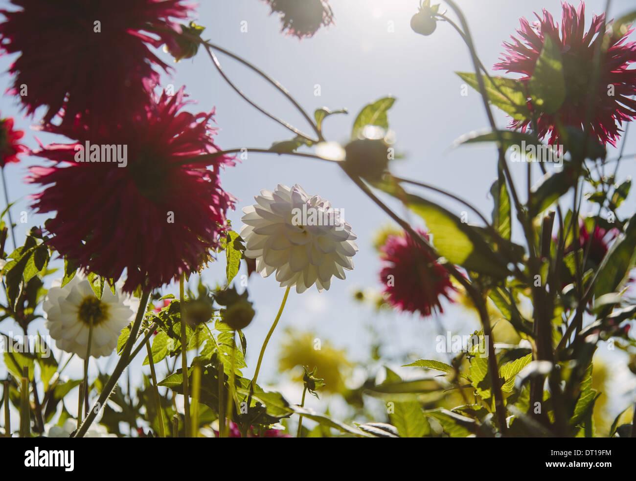 Seattle Washington USA rouge et blanc en fleurs jardin dans dahliflowers Photo Stock