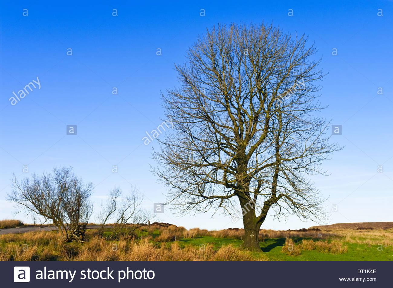 Frêne en hiver, Monmouthshire, Wales, UK Photo Stock