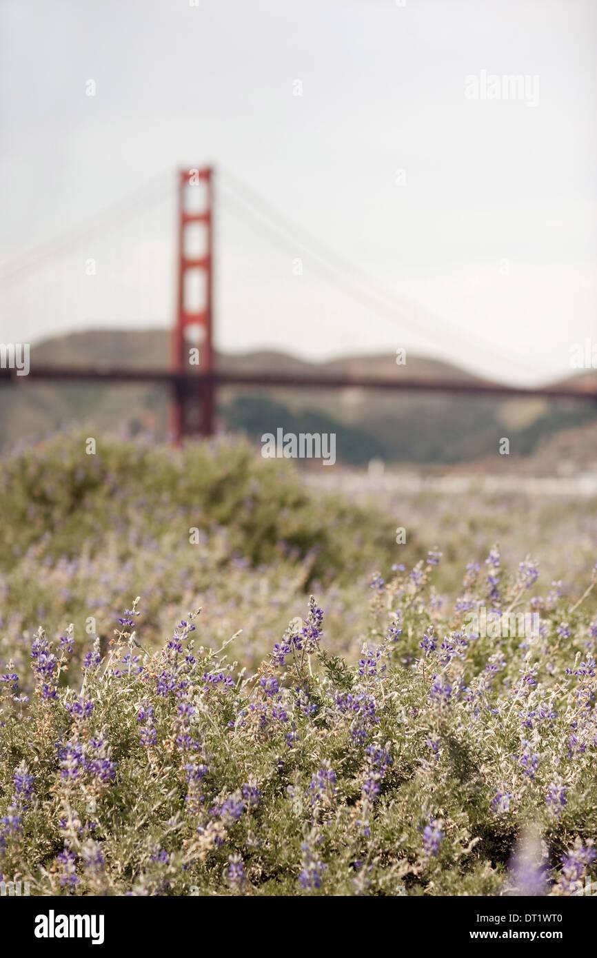Printemps fleurs sauvages dans une prairie et une vue sur le Golden Gate Bridge à San Francisco bay Photo Stock