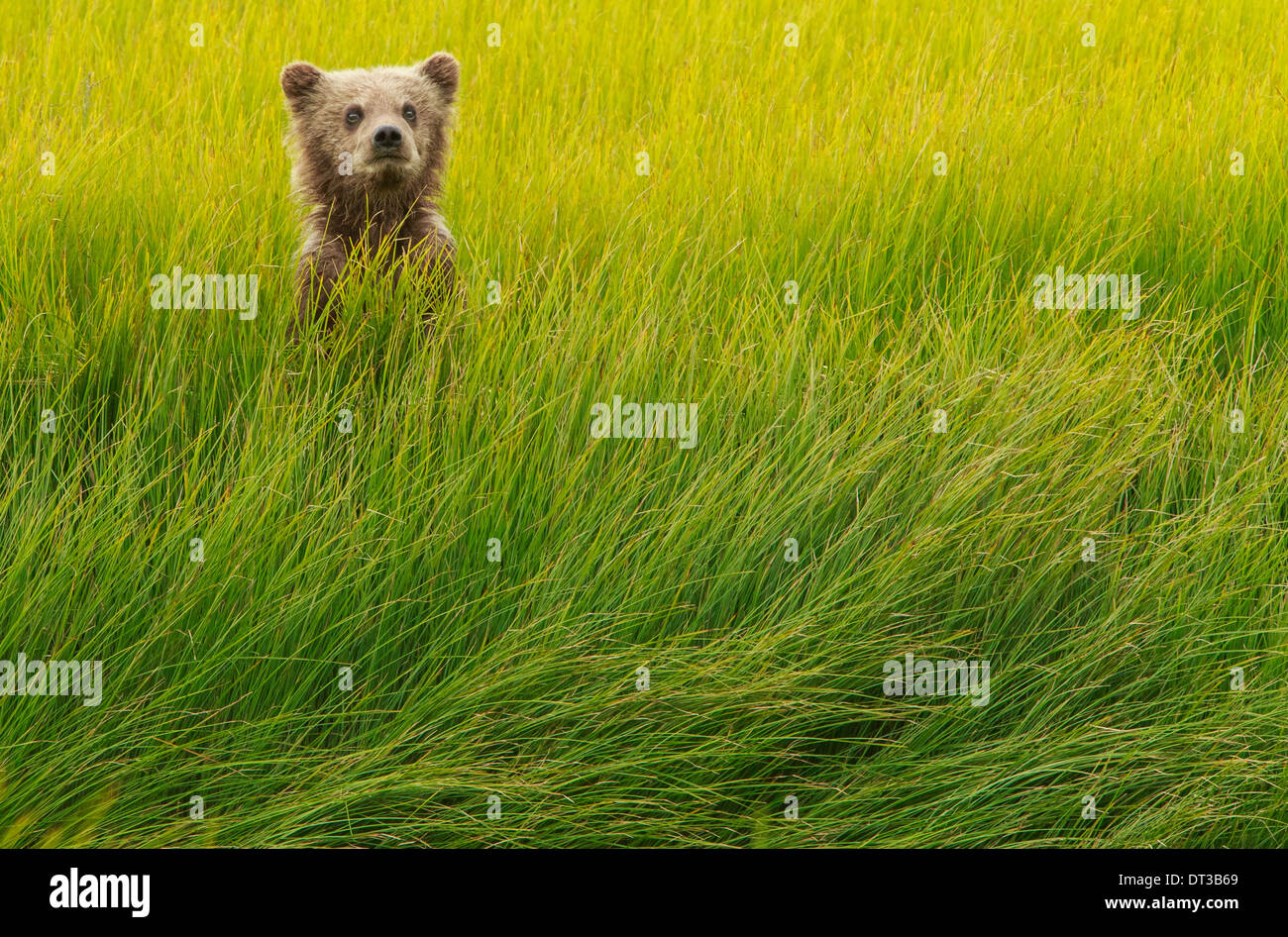 Brown Bear cub, Lake Clark National Park, Alaska, USA Photo Stock