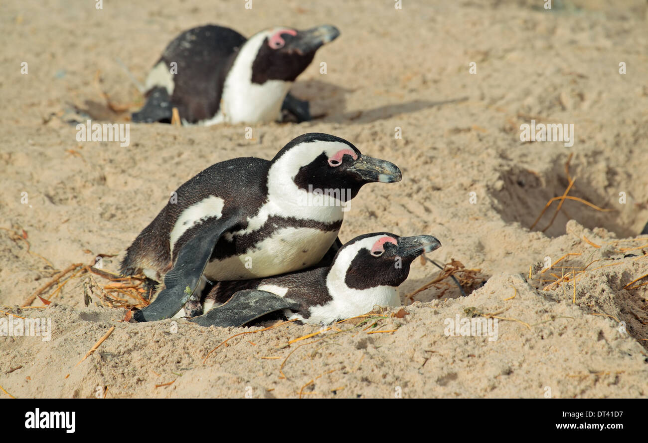 Pingouins africains (Spheniscus demersus) nichant dans le sable, Western Cape, Afrique du Sud Photo Stock