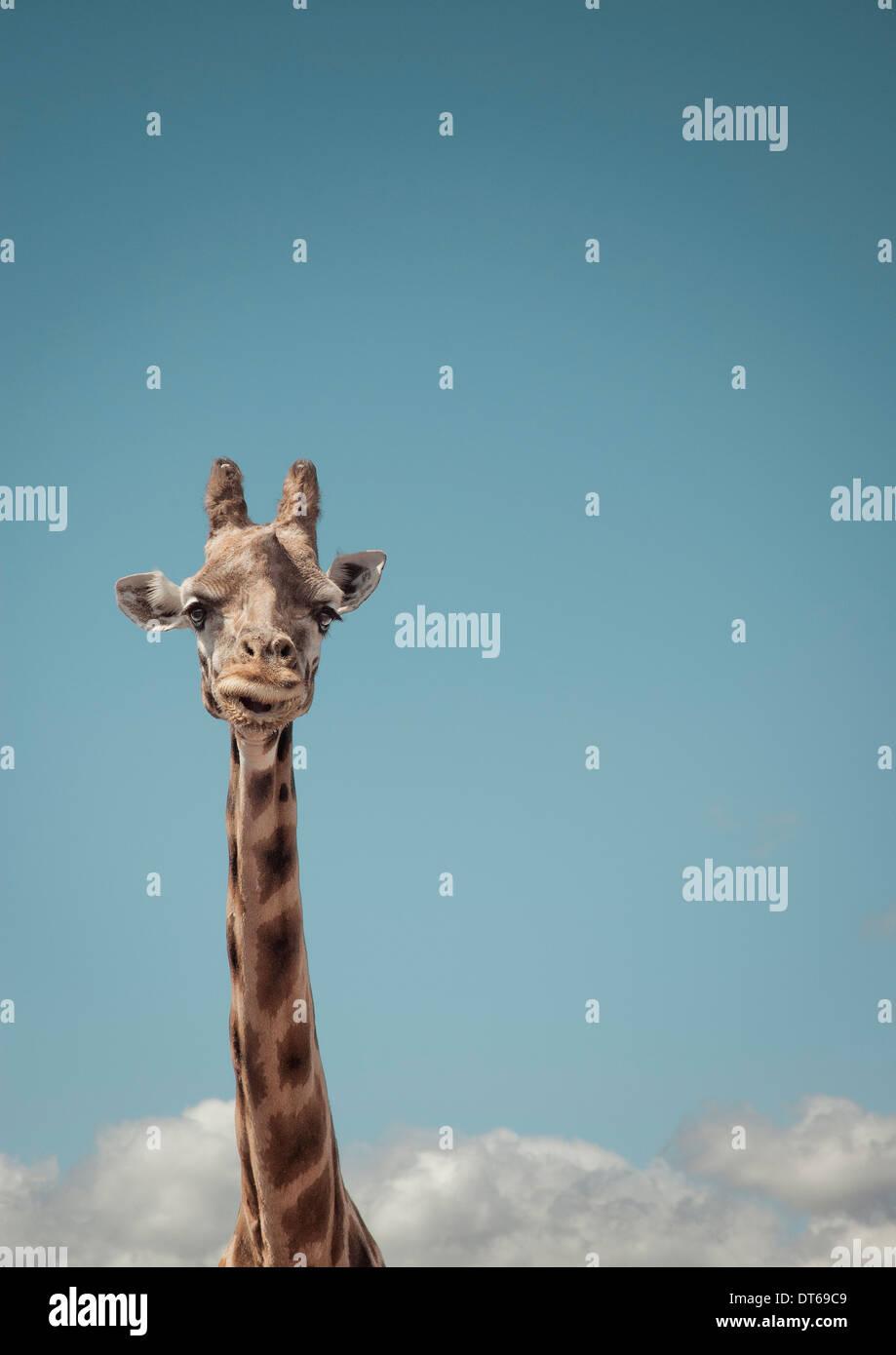 Portrait de girafe et ciel bleu Photo Stock
