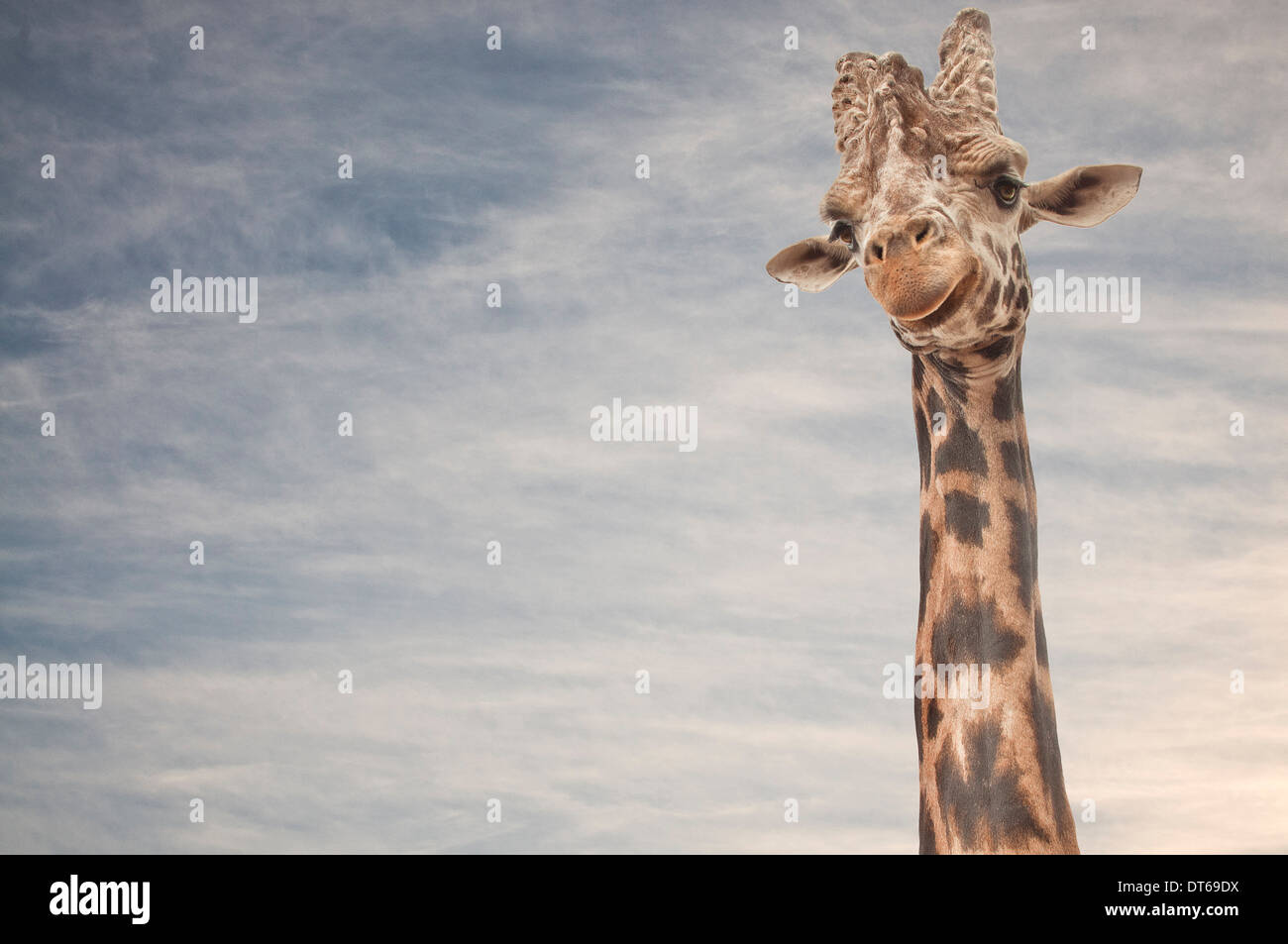 Portrait de girafe Photo Stock