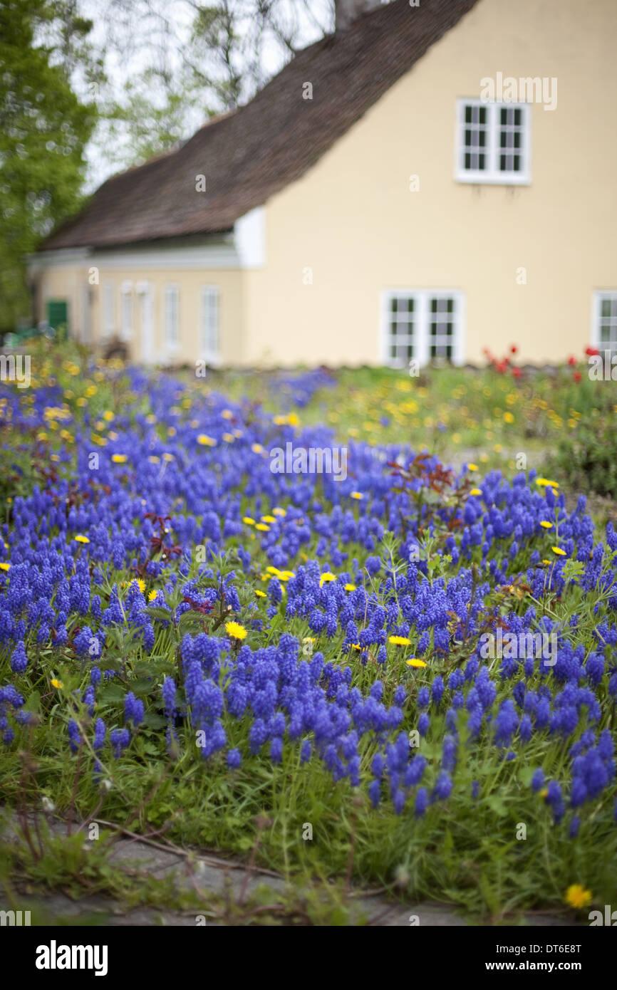 Une vieille maison avec un rose pâle peint mur extérieur. Jardin des plantes et des fleurs. Les bulbes de miscanthus bleu vif. Photo Stock